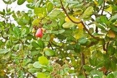 Acajounuss auf Baum Stockfotografie