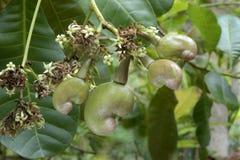 Acajounuss Blumen und zarte Nüsse auf Anlage Stockfoto