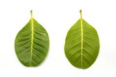 Acajounuss-Grünblatt auf Weiß Lizenzfreies Stockbild