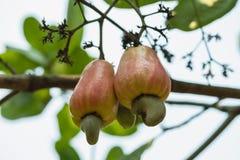 Acajounuss reif auf dem Baum lizenzfreies stockfoto