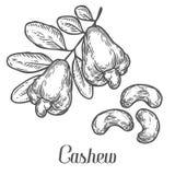 Acajounuss-Samenpflanzevektor Getrennt auf weißem Hintergrund Acajoubaumbutterlebensmittel Stockbild