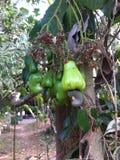 Acajounussbaum Stockbilder