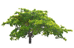 Acajounussbaum (Anacardium occidentale L.). Lizenzfreies Stockfoto