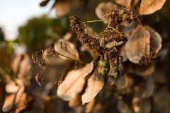 Acajounusssamen, der im Baum fugt Stockbild