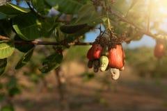 Acajounusssamen, der im Baum fugt Stockbilder
