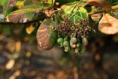 Acajounusssamen, der im Baum fugt Lizenzfreie Stockfotos