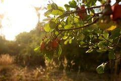 Acajounusssamen, der im Baum fugt Stockfotos