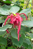 Acalypha hispida Stockbild