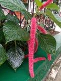 Acalypha hispida, Inflorescense, kota ogon obrazy stock