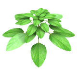 Acalypha indica Royalty Free Stock Images