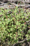 Acalypha monostachya. Or Round copperleaf is in the family Euphorbiaceae Stock Photography