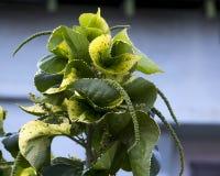 Acalypha un genre des usines fleurissantes dans l'Euphorbiaceae de famille. Images stock