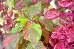 Acalypha wilkesiana `Jungle Cloak` and Iresine herbstii. Two beautiful and vibrant plants growing together - Iresine herbstii and Acalypha wilkesiana Stock Images
