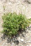 Acalyphamonostachya Royaltyfria Bilder