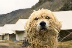 Acampamento enorme dos protetores de cara do cão nas montanhas foto de stock