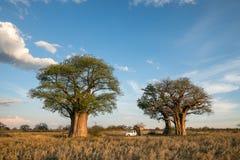 Acampamento no Baobab de Baines em Botswana foto de stock