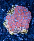 Acan rosso e blu Brain Coral della scogliera esotica indopacific Immagine Stock Libera da Diritti