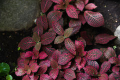 Acanthaceae fittonia Lizenzfreies Stockbild