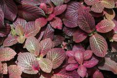 Acanthaceae fittonia Stockbilder