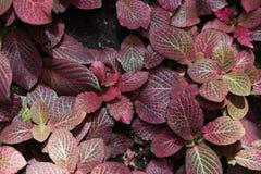 Acanthaceae fittonia Stockfotos