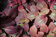 Acanthaceae fittonia Lizenzfreie Stockfotografie
