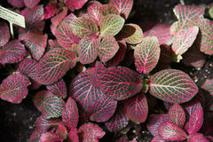 Acanthaceae fittonia Royalty Free Stock Photography