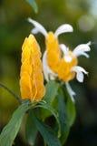 Acanthaceae Pachystachys-lutea Lizenzfreies Stockbild