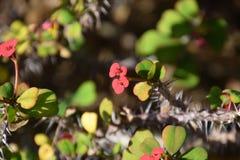 (Acanthaster planci) preys der große nächtliche dieser Seestern nach korallenroten Polypen Stockfotos