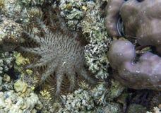 (Acanthaster planci) preys der große nächtliche dieser Seestern nach korallenroten Polypen Lizenzfreies Stockbild
