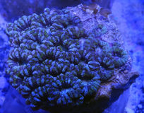 Acanthastrea Brain Coral. Detail of green and blue acanthastrea brain coral underwater Stock Photos