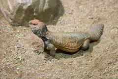 acanthinurus蜥蜴多刺的被盯梢的uromastyx 库存图片