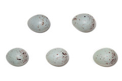 Acanthis cannabina. The eggs of the Linnet in front Stock Photography
