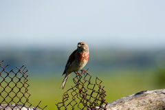 Acanthis cannabina, Linnet Royalty Free Stock Photography