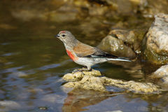 Acanthis cannabina, Linnet Stock Images