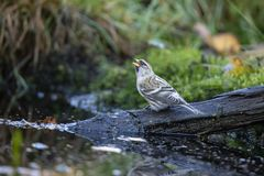 Redpoll, common Redpoll, Acanthis flammea stock images