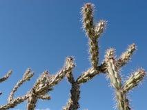 Acanthocarpa d'opuntia de Buckhorn Cholla de cactus Photographie stock