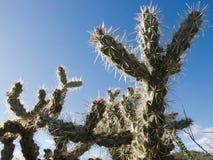 Acanthocarpa d'opuntia de Buckhorn Cholla de cactus Image libre de droits