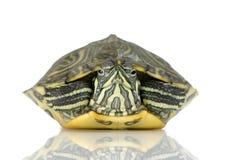 acanthochelyssköldpadda royaltyfri foto