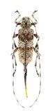 Acanthocinus griseus Stock Image
