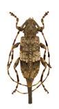 Acanthocinus reticulatus Lizenzfreie Stockfotos