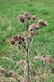 Acanthoides-Carduus L - Straßenranddistel Stockbild