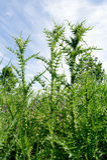 Acanthoides karda L - pobocze oset Fotografia Stock