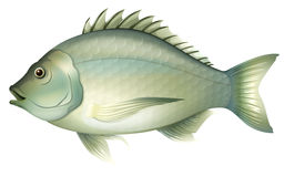 Acanthopagrusbutcheri Royalty-vrije Stock Afbeelding