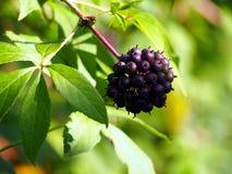 Free Acanthopanax, Eleutherococcus Henryi - Siberian Ginseng Berries Royalty Free Stock Image - 50816926