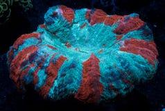 Acanthophyllia珊瑚 免版税库存照片