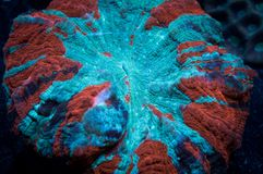 Acanthophyllia coral. A red and blue Acanthophyllia coral in a marine aquarium Royalty Free Stock Image