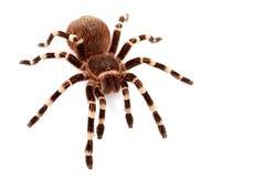 acanthoscurria巴西g数据条塔兰图拉毒蛛白色 免版税图库摄影