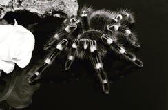 Acanthoscurria γονάτιο στοκ εικόνα με δικαίωμα ελεύθερης χρήσης