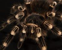 Acanthoscurria geniculado fotografia de stock royalty free