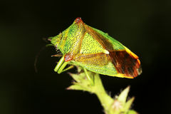 Acanthosoma haemorrhoidale / The hawthorn shieldbug close-up Stock Photography